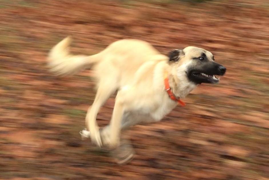 An Anatolian Shepherd dog displaying the breed's awesome speed. Photo by Mary Harmon on Facebook
